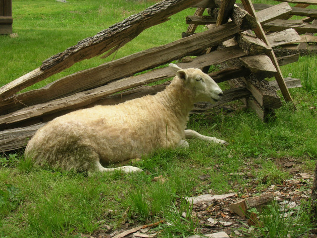 """Sheep at the Homeplace after a """"hair cut"""", Staff Photo"""