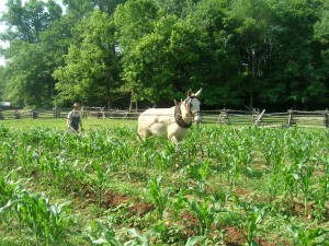 Plowing with mule