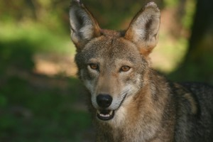 Endangered Red Wolf at Woodlands Nature Station at Land Between The Lakes