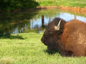 Bison resting in the Elk & Bison Prairie