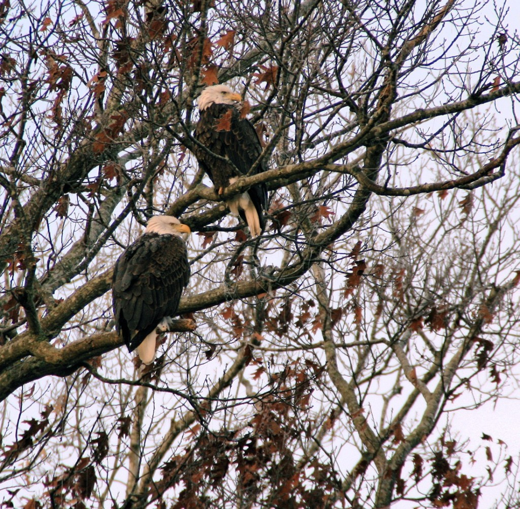 Bald Eagles seen on a guided tour at Land Between The Lakes, Photo by Sherry Baily