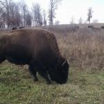 Elk & Bison Prairie, Photo by Andrew Wheatley