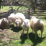 """Our Border Leicester Sheep get a """"hair cut"""" each spring at the Homeplace 1850s Farm. Staff photo"""
