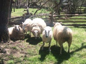 "Our Border Leicester Sheep get a ""hair cut"" each spring at the Homeplace 1850s Farm. Staff photo"