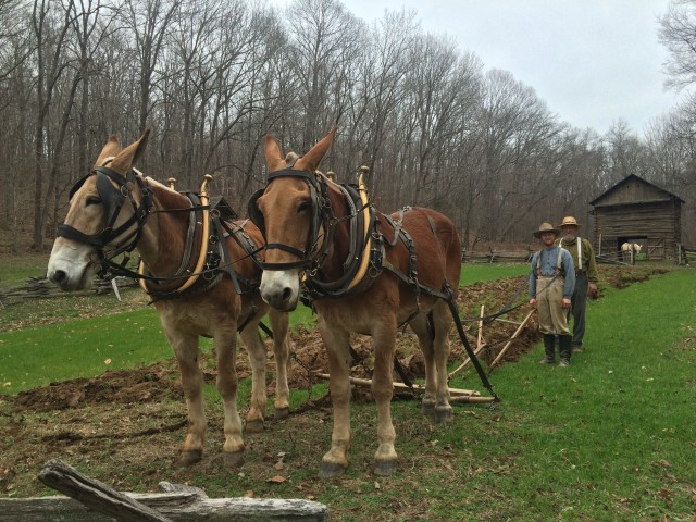 Meet Dan and Todd, the new mule team at the Homeplace 1850s Working Farm.