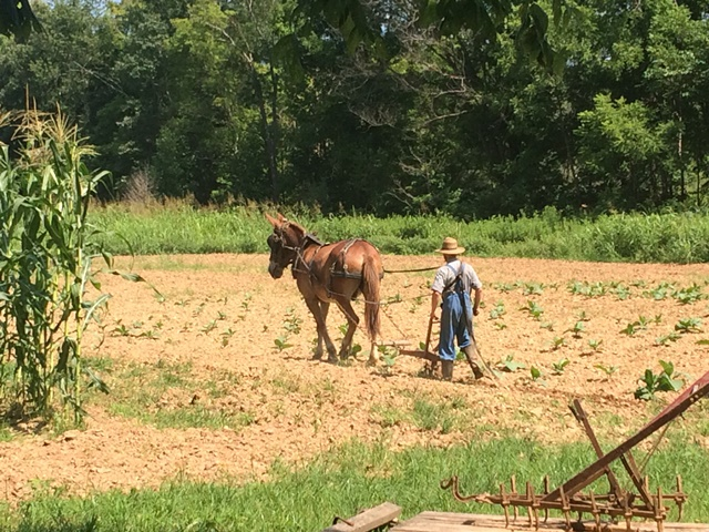 Summer cultivating at the Homeplace 1850's Farm