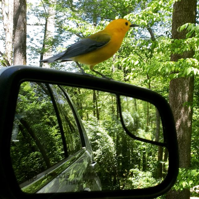 This prothonotary warbler needed a place to rest on a beautiful, spring day. Photo by Denise Schmittou