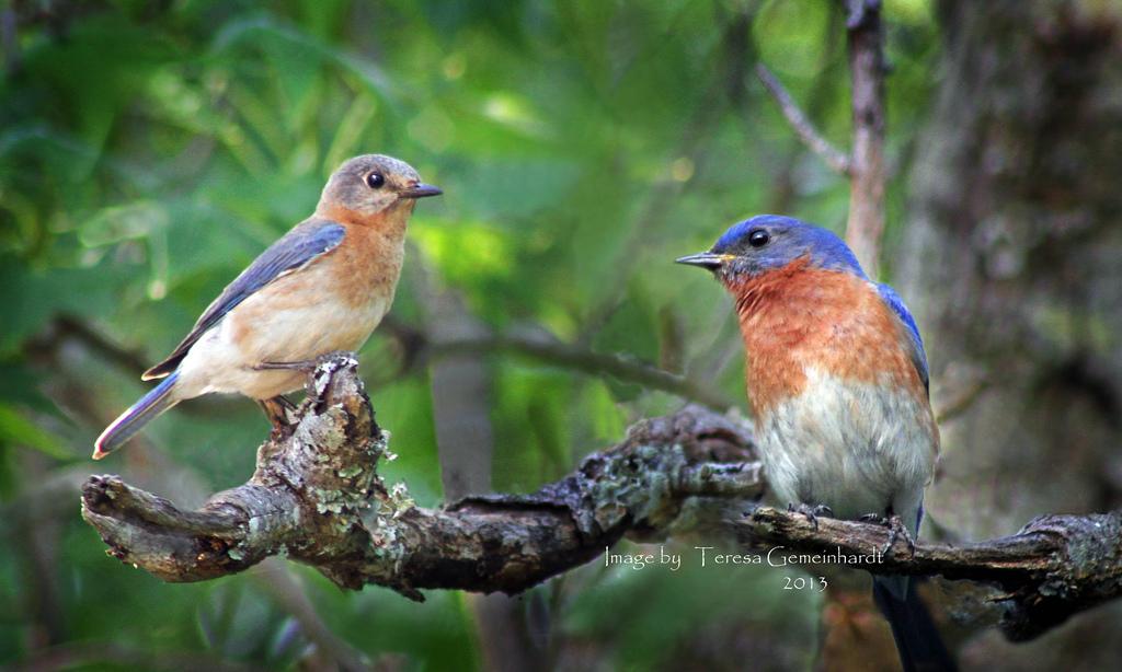 Bluebirds, Photo by Teresa Gemeinhardt