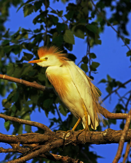 Cattle Egret, Photo by Ron Kruger
