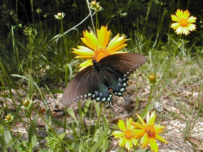Spicebush butterfly and Coreopsis Flower