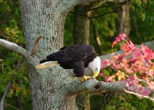 Bald Eagle, Photo by Ron Kruger
