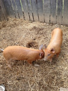 Pigs at the Homeplace