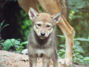 Red Wolf pup at Woodlands Nature Station