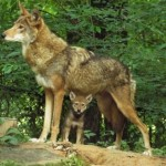 Red Wolf pup with mother