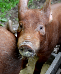 Homeplace pigs, Photo by Selena Ball