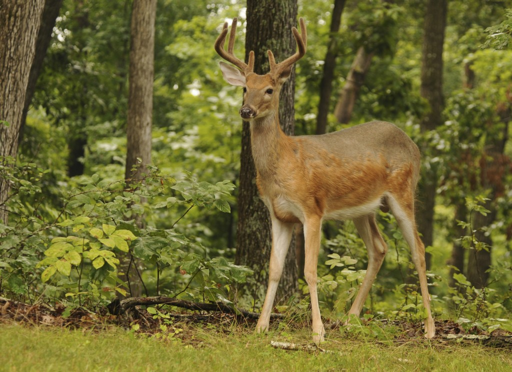 White-tail Deer, Photo by Ray Stainfield