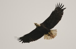 Bald Eagle, Photo by Ray Stainfield