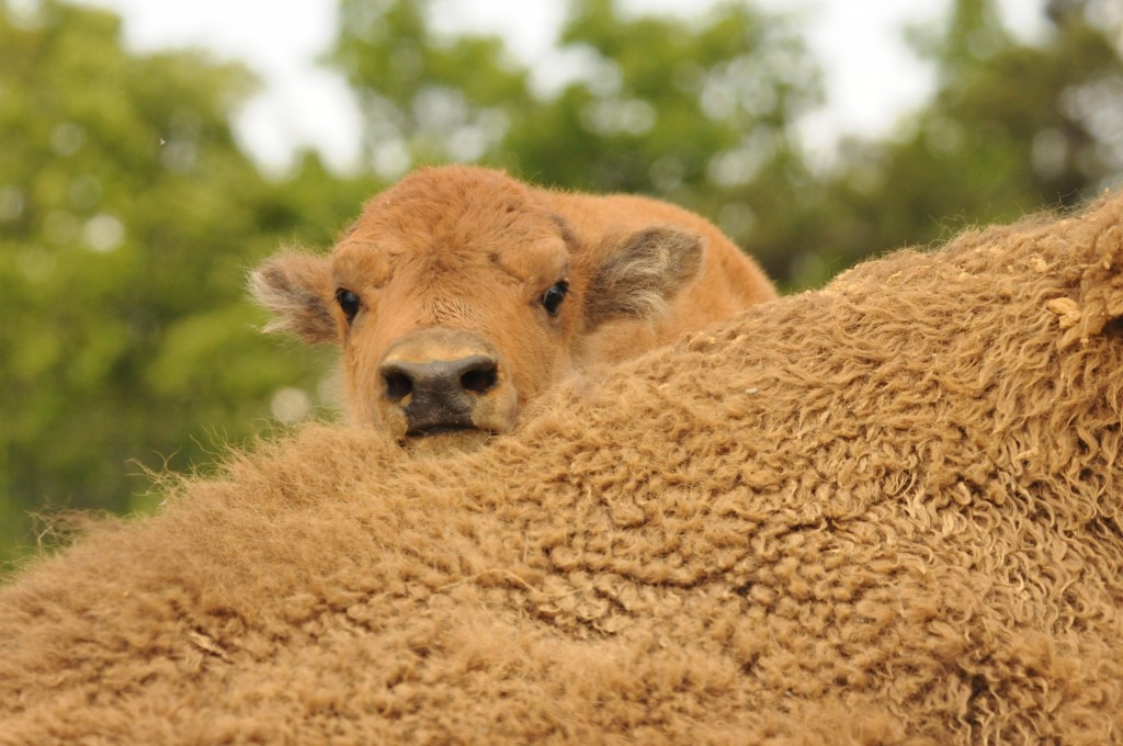 Bison Calf, Photo by Ray Stainfield