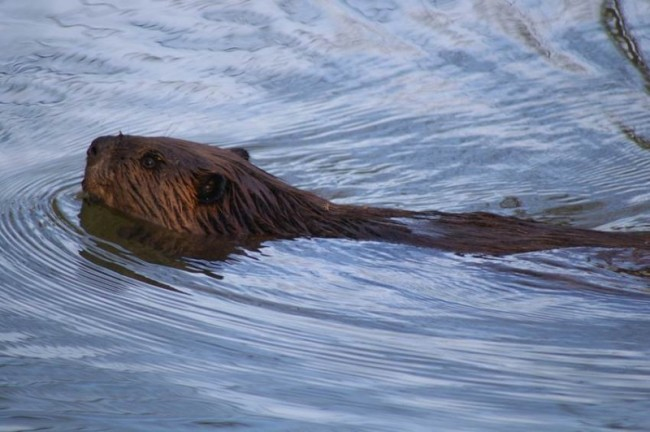 Beavers are active at dusk, Photo by Melodie Cunningham