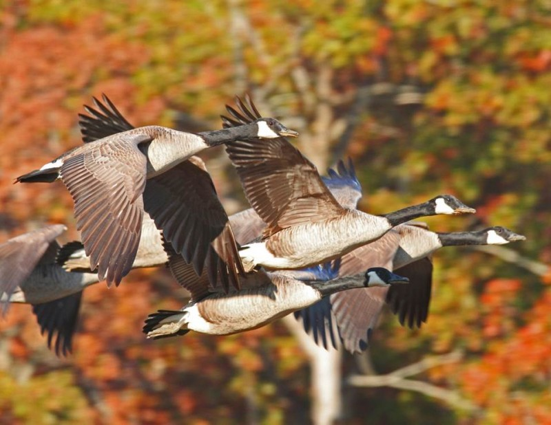 Honker Lake was named for the number of Giant and Interior Canada Geese it attracts, Photo by Melodie Cunningham