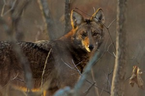 Coyotes migrated to Kentucky and now dominate the top of the food chain. During fall and winter, you will find coyotes searching the shoreline for food during the day, Photo by Melodie Cunningham