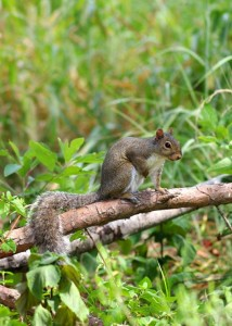 These noisy Gray Squirrels become even more noisy as they search high and low for acorns and hickory nuts. Trying hard to defend their cache against rivals, Photo by Ron Kruger