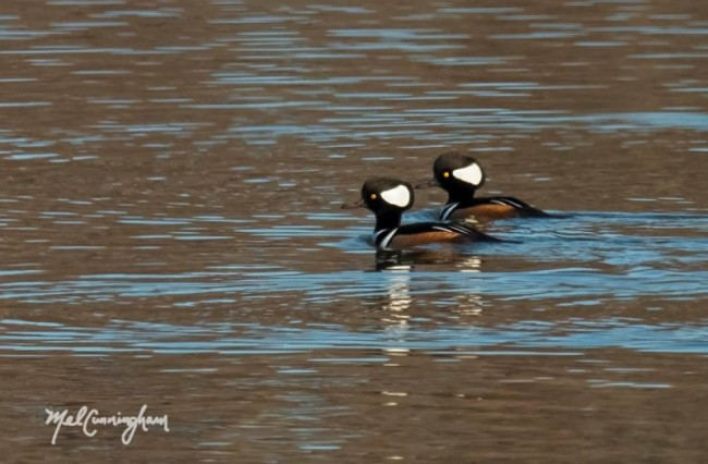 """Hoodies,"" as birders may call Hooded Mergansers, are also a year round resident and can often be heard making a slow snoring sound as they dive among the waves, Photo by Melodie Cunningham"