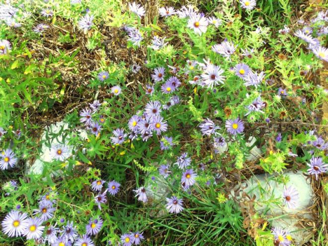 Asters Are Blooming Land Between The Lakes