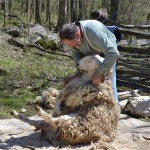 Sheep Shearing at the Homeplace 1850s Farm