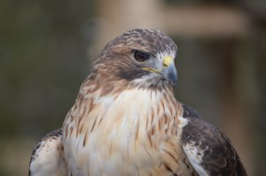 Red-tailed Hawk at Woodlands Nature Station, Photo by Kelly Bennett