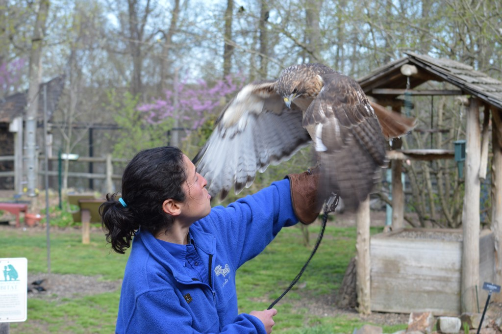 Check out my wings! Visit Red-tailed Hawk at Nature Station, Photo by Kelley Bennett