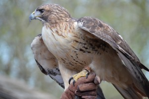 Red-tailed Hawk at Nature Station