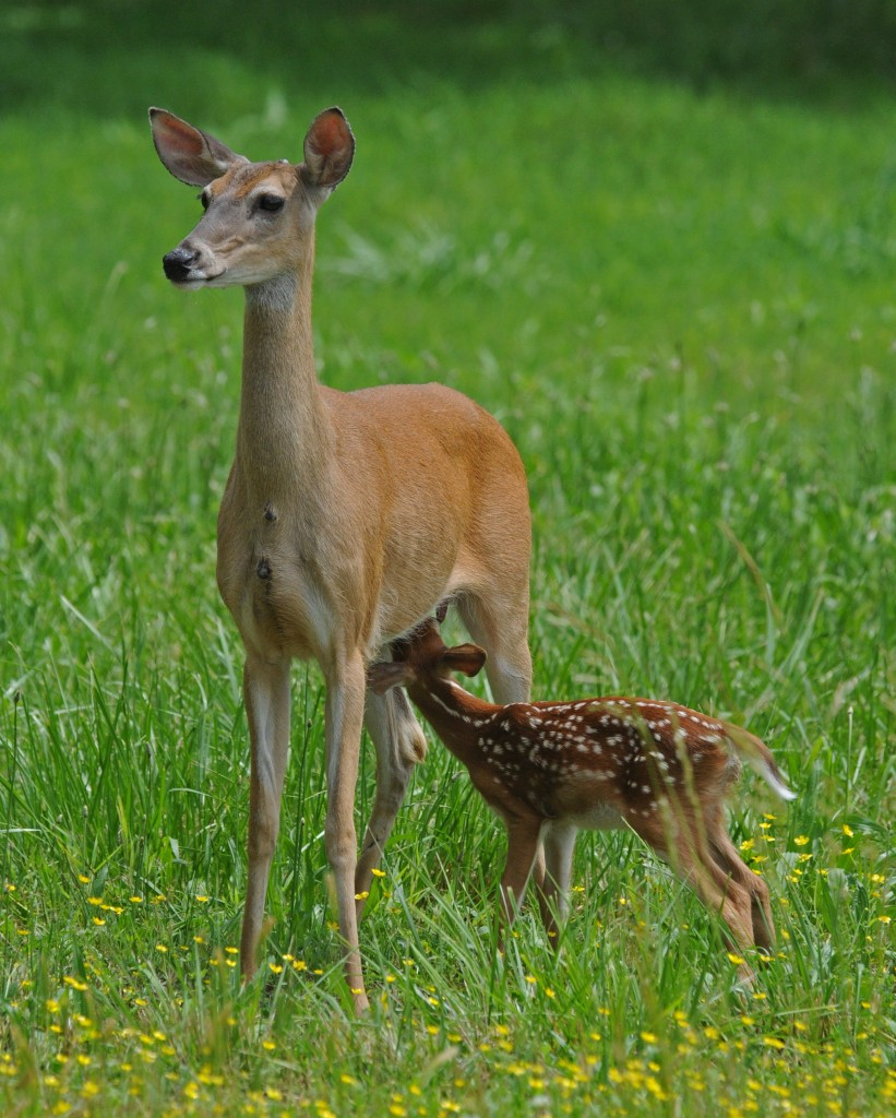 White-tail Deer and fawn, Photo by Melodie Anderson