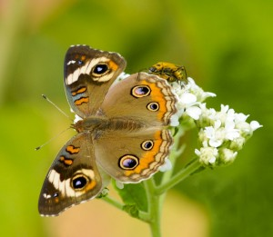 Buckeye butterfly, Photo by Ray Stainfield
