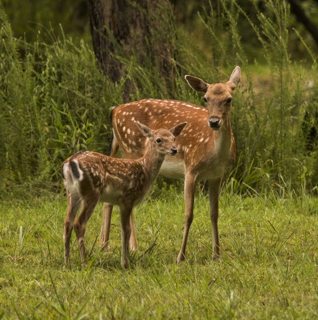Fallow Deer at Land Between The Lakes, Photo by Melodie Anderson