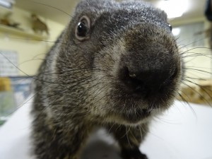 A groundhog 'hello' from Woodlands Nature Station at Land Between The Lakes