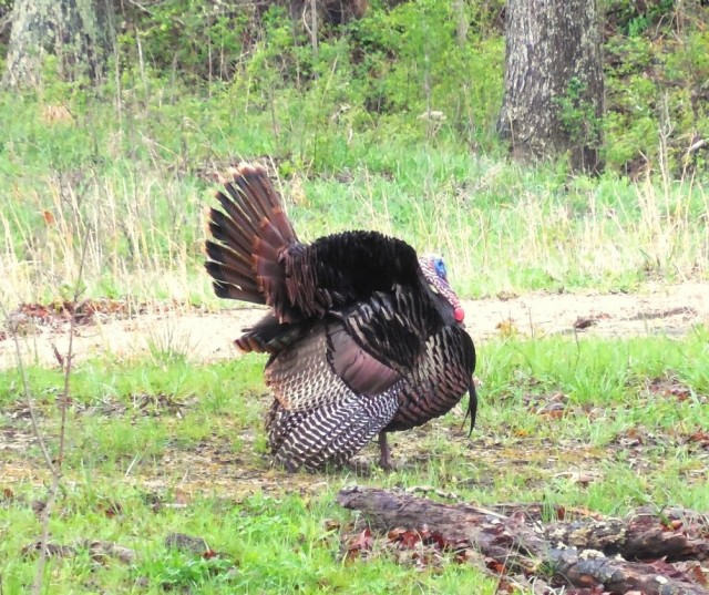 male tom turkey at land between the lakes photo by curtis fowler