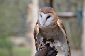 Barn Owl, Photo by Kelly Bennett
