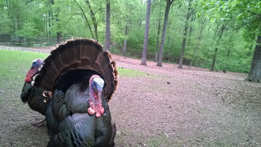 turkey at nature station