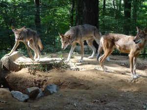 Red Wolf Family Photo, Staff Photo, August 2014