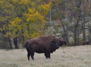 Bison at the South Bison Range