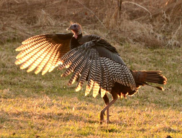 Wild turkey dances in mating season