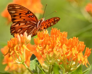 Fritillary on Butterfly Milkweed Numerous species of butterflies and moths enjoy prairie habitats found in the Elk & Bison Prairie at Land Between The Lakes. Photo by Ray Stainfield