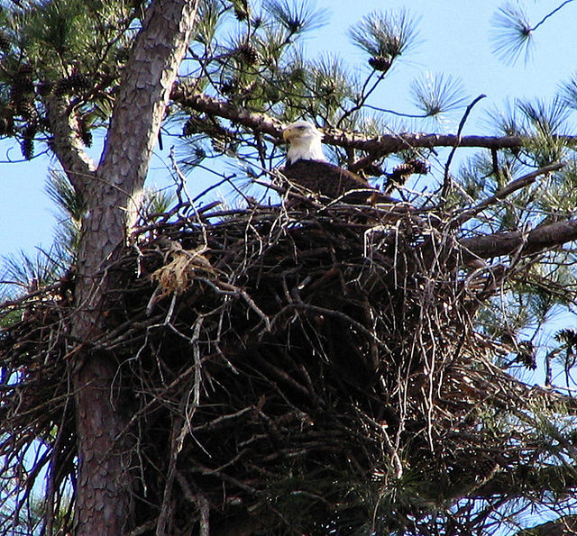 Eagles like a more open canopy for easy flight access to their nests that rests within view of their food source -- fish