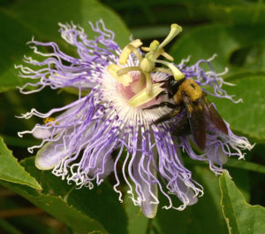 A busy bee on a Passion flower... Love these little guys! Learn more about pollinators at the Nature Station.