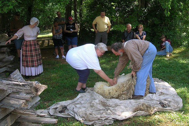 Sheep shearing at the Homeplace Farm