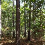 elm understory in loblolly pine stand in Fox Hollow