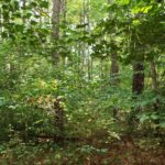 thick understory of shade tolerant species in loblolly pine stand in Fox Hollow