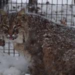 Bobcat in Winter, Staff photo