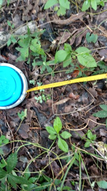 Diameter Tape used to measure Diameter at Breast Height or DBH of a tree. Photo by Yvonne Helton